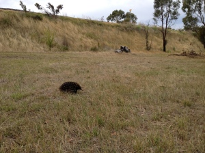 This little guy was wandering across Diggers Way the other day, thankfully it made it to the other side!